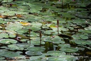 Lily Pads in the Australian Outback