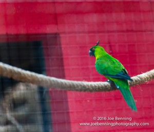Noumean Parrot