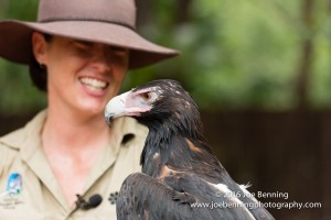 Wedge-tailed eagle with trainer in the Australian outback