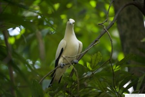 An eared dove perched on a tree branch