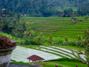 Rice terraces in Jatiluwih, a UNESCO world heritage site; this is just a small picture from the large bowl-shaped area.